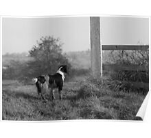 Beautiful English Springer Spaniel set in the stunning Lincolnshire countryside Poster