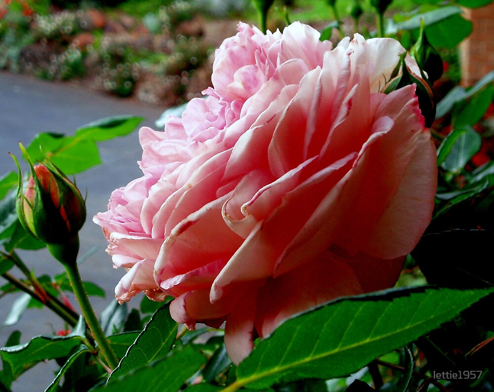 First Rose of Spring by lettie1957