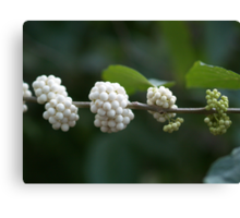 Berries Ripening from Green to White Canvas Print