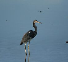 Tri-colored Heron by rexstardust
