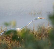 Egret by rexstardust