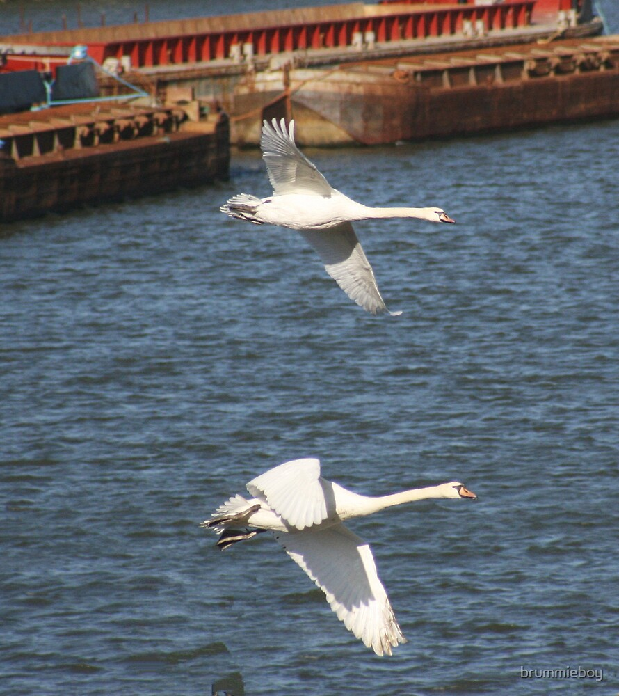 Swans in Flight by brummieboy