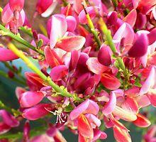 Red Broom by pat oubridge