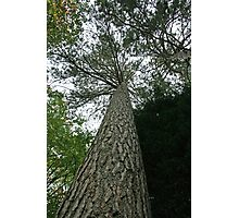 Tall Tree Photographic Print
