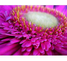 Pink Gerbera Photographic Print