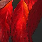 Flaming Dogwood by Eileen McVey
