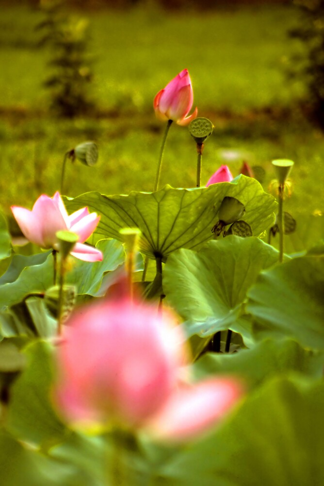 Lotus by Jonathan Cohen