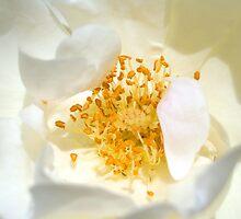 White Rose by Shara