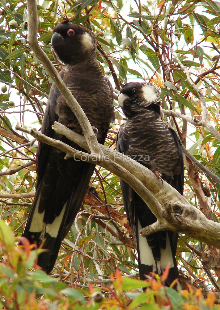 White tailed Black Cockatoo Sweethearts by Coralie Plozza