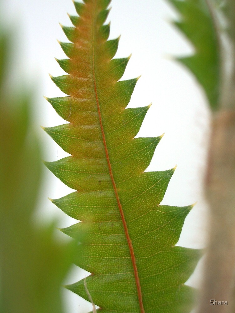 Banksia by Shara
