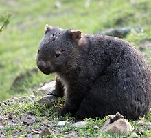Wombat by Phil Atkinson