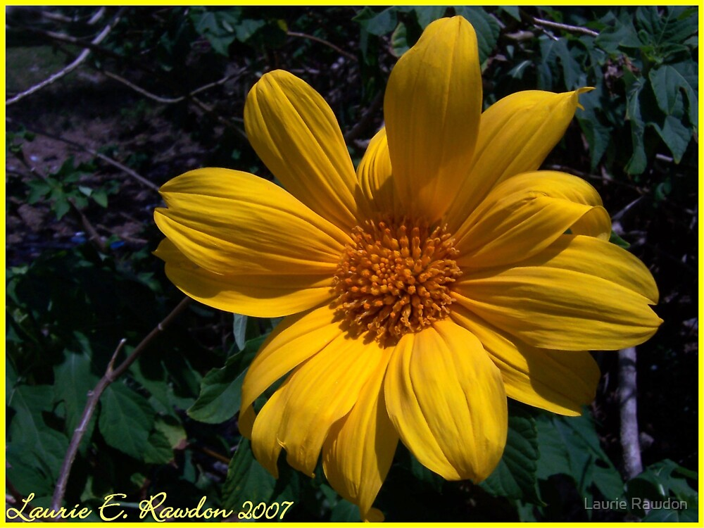 Golden Delight by Laurie Rawdon