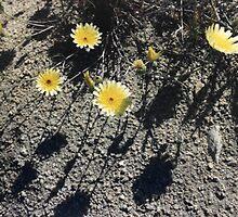 Desert Daisies by CalicoJim