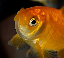 Gary the Goldfish by greencardigan