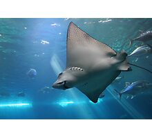 Spotted Eagle Ray Photographic Print