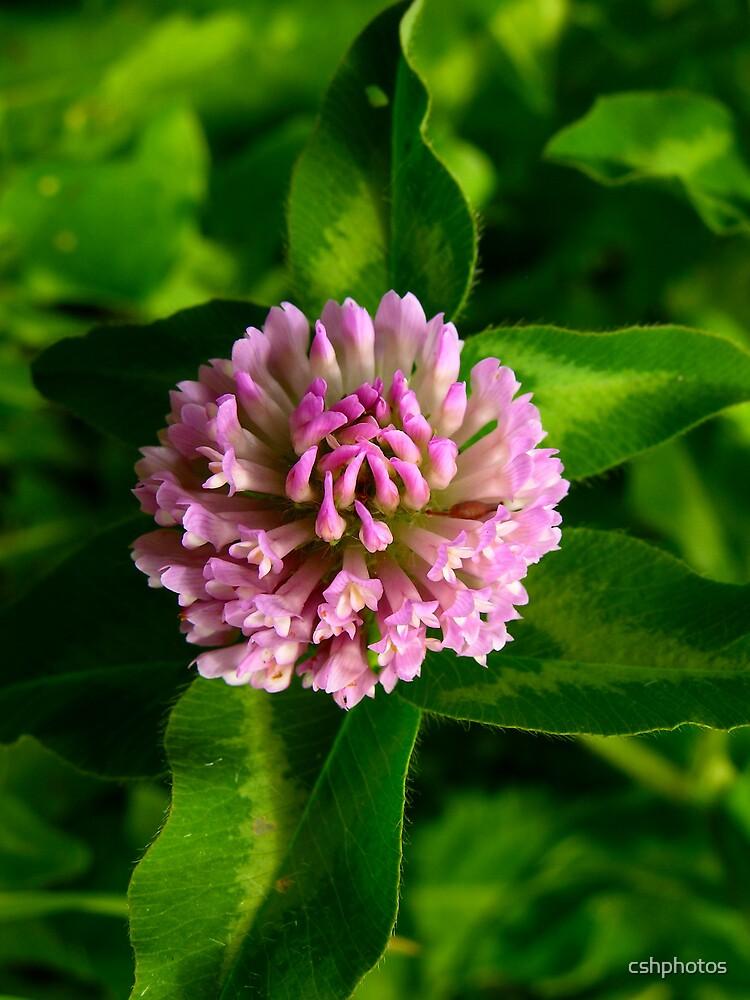 Pink Clover by cshphotos