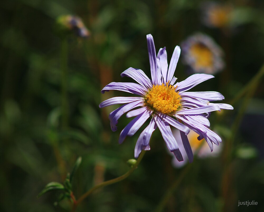 wild daisy by justjulie