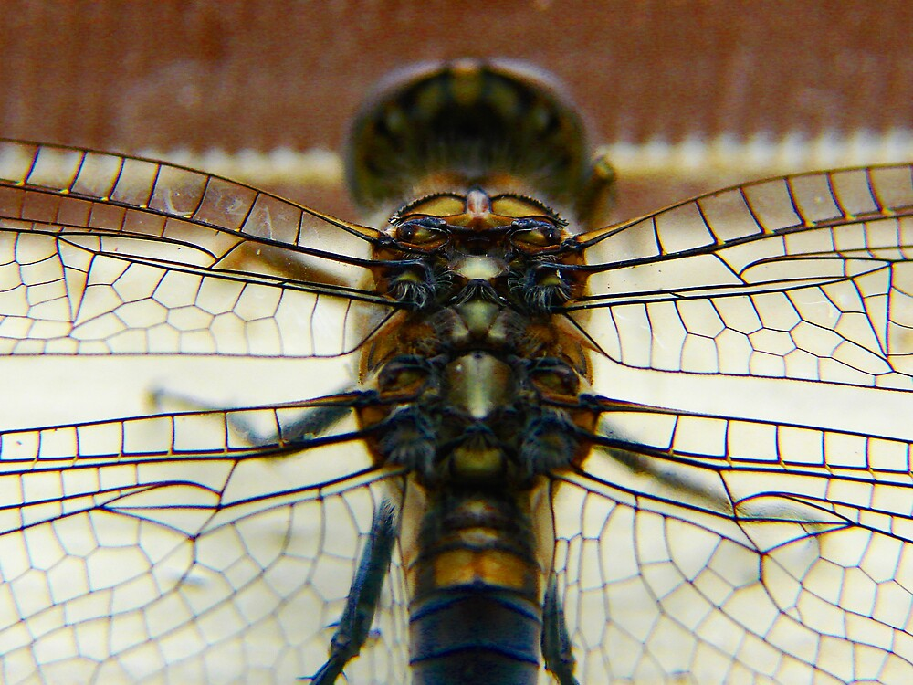 dragonfly3 by diddle