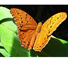 Cruiser Butterfly Melbourne Zoo I Photographic Print
