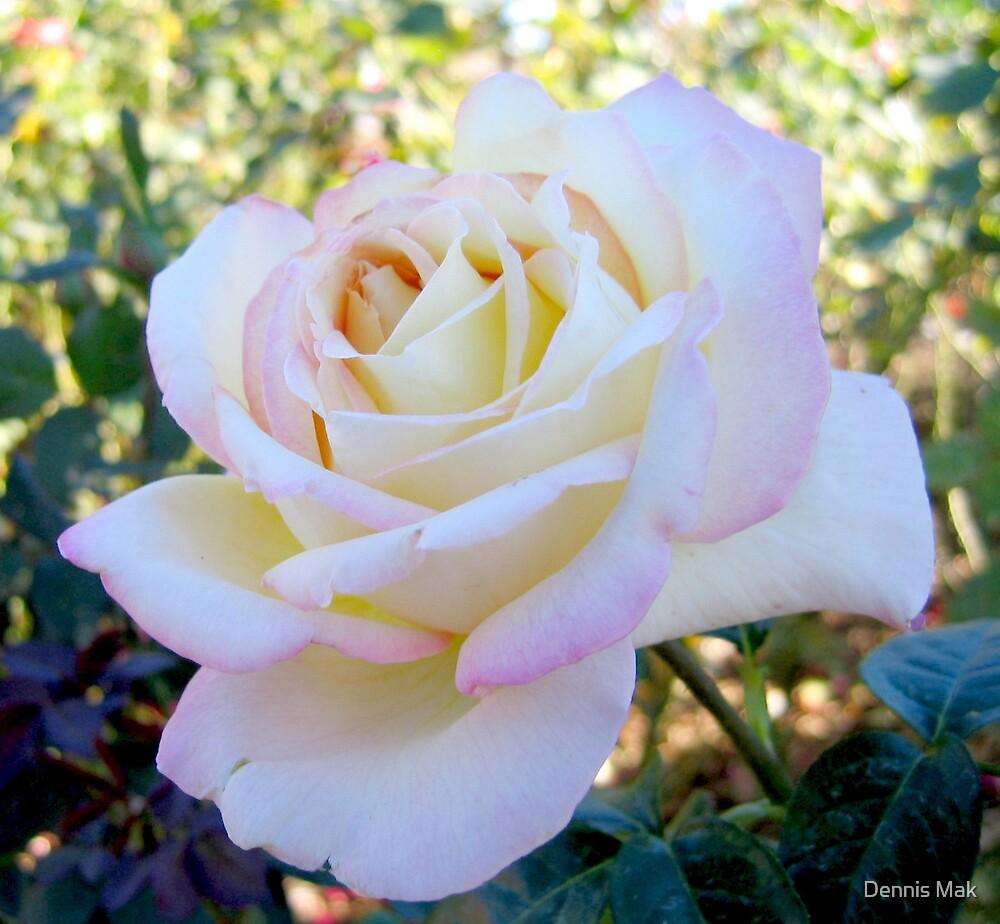 White Rose by Dennis Mak