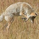 Coyote pounce by Anthony Brewer