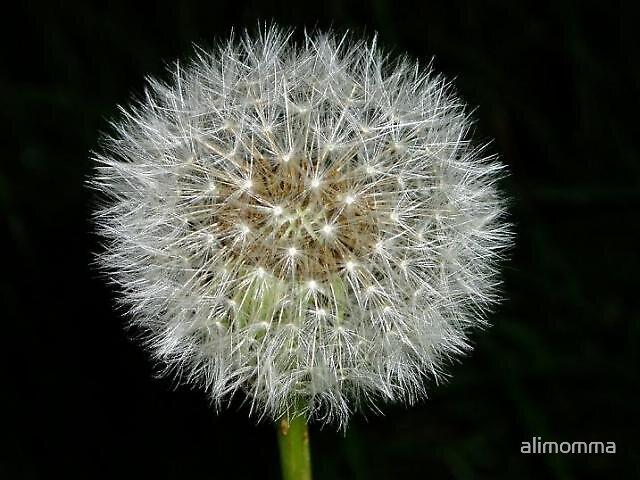 Dandelion clock by alimomma