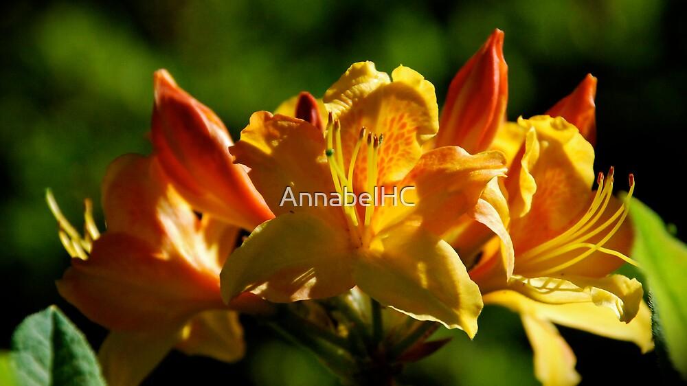 Orange...  by AnnabelHC