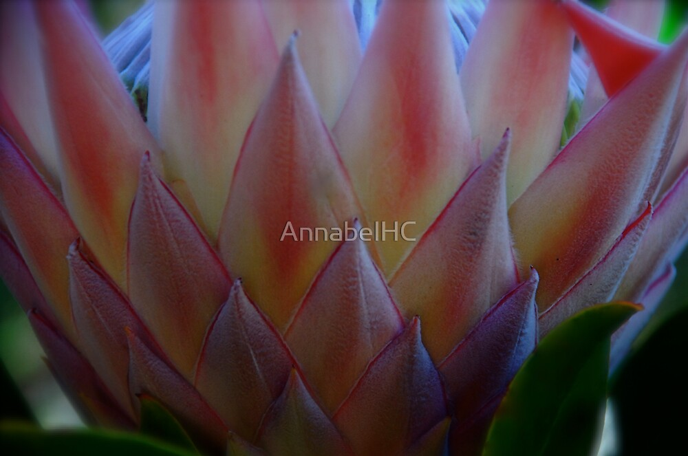 Protea... by AnnabelHC