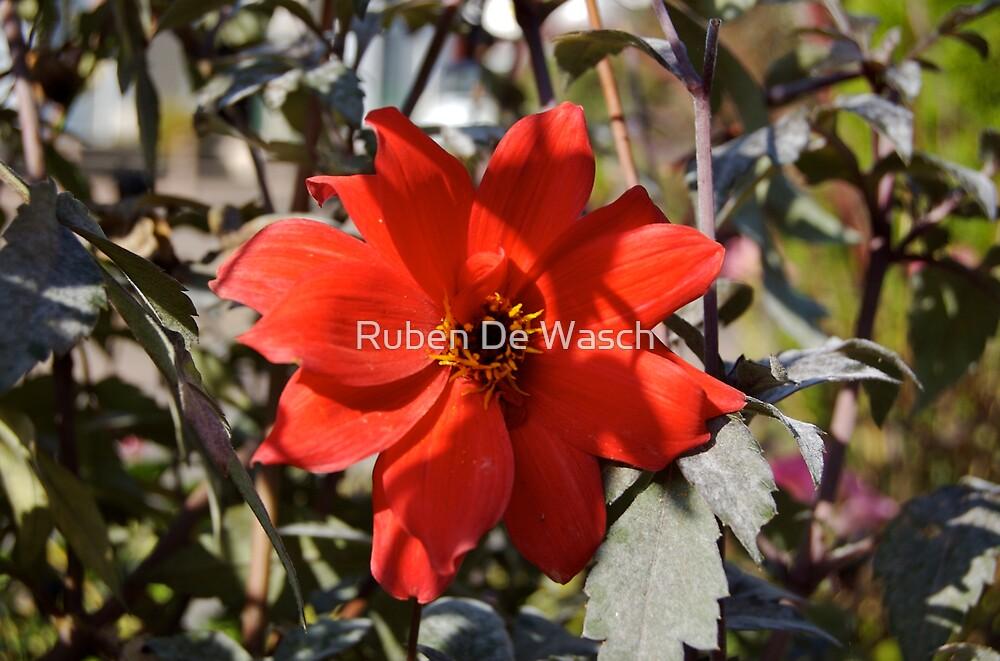 Red Flower by Ruben De Wasch