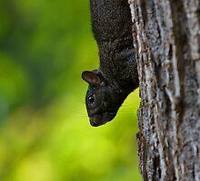 Black Squirrell II by Glasseye