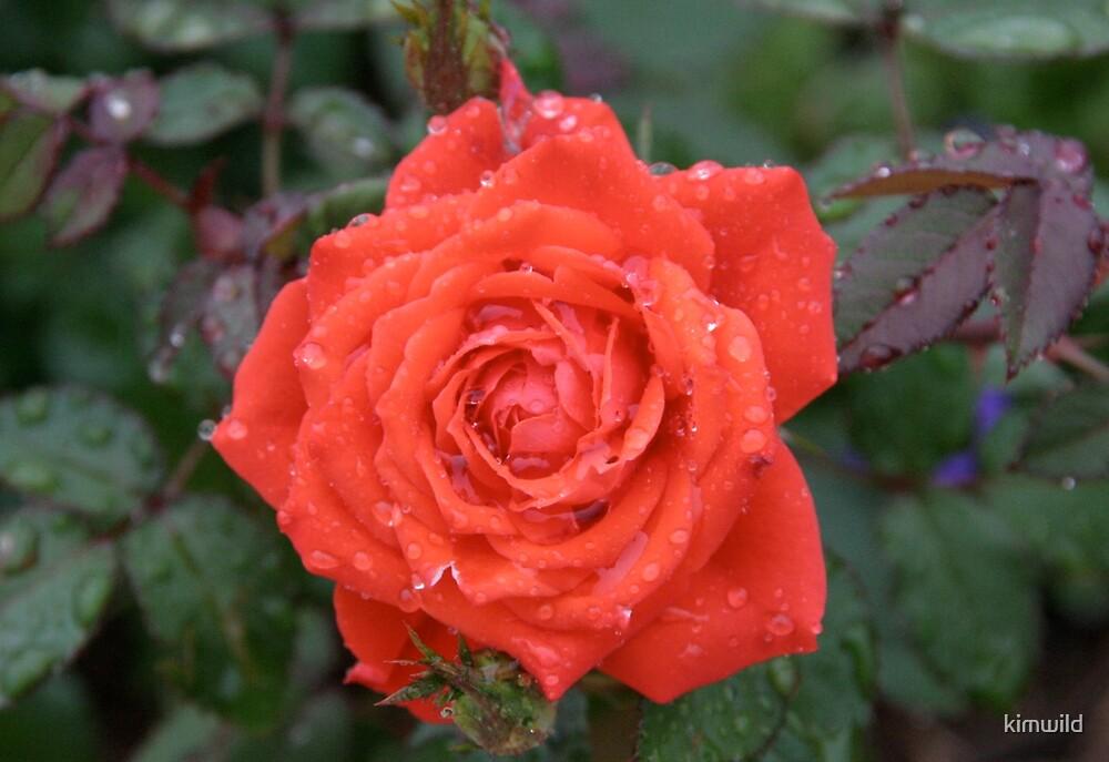 Orange Rose by kimwild