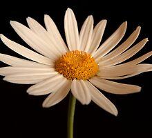 White Daisy by Martie Venter