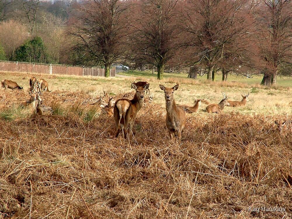 Deer by Kay Hawkins