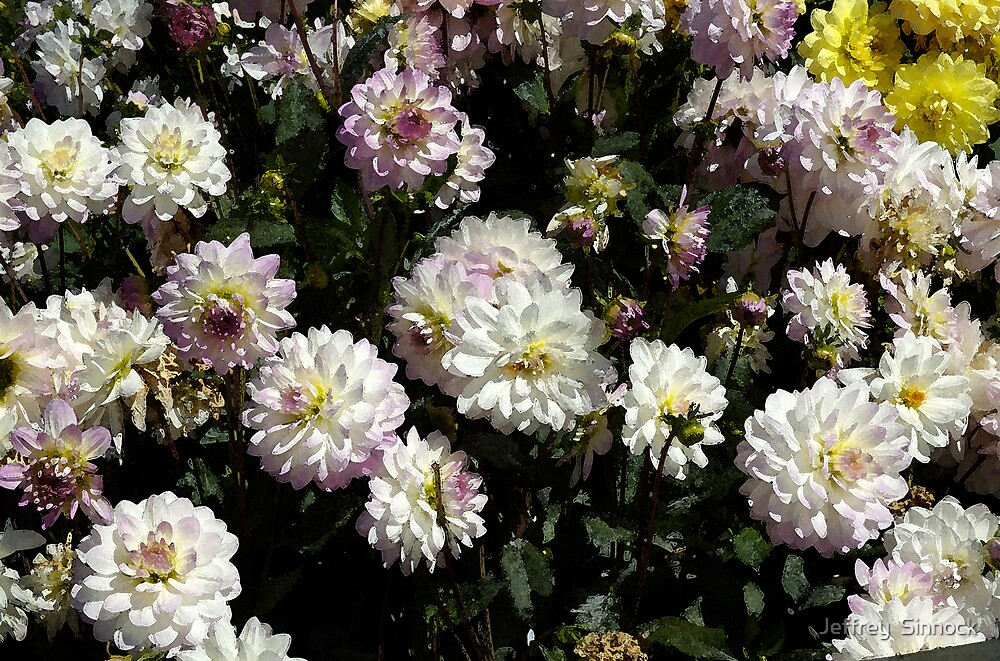 Dahlias in San Francisco by Jeffrey  Sinnock