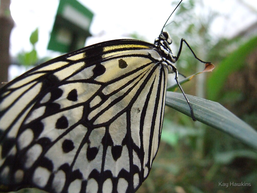 Black and White Butterfly by Kay Hawkins