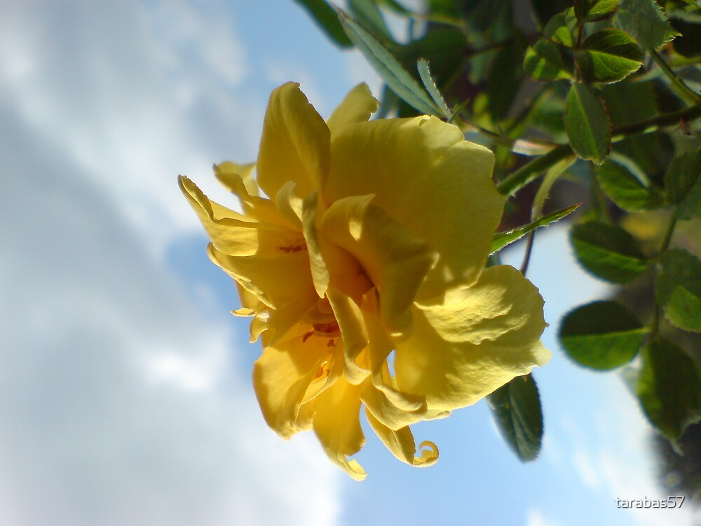 Same Rose by tarabas57