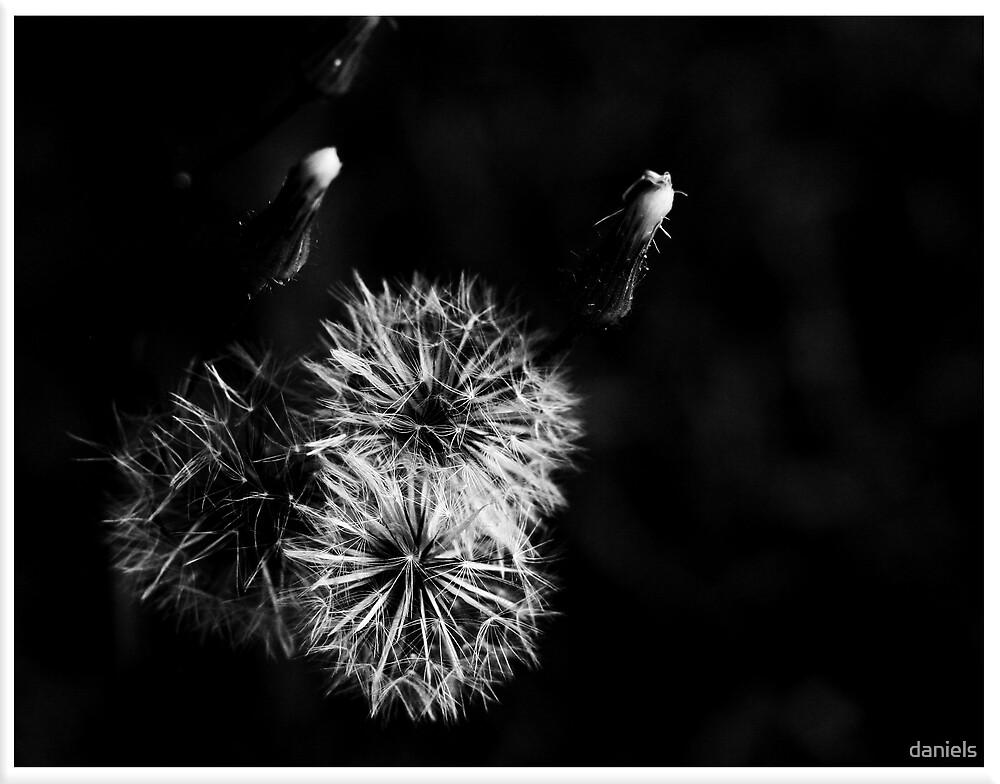 dandelion in BW by daniels