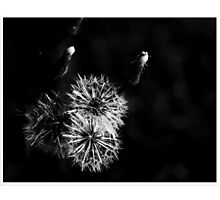 dandelion in BW Photographic Print