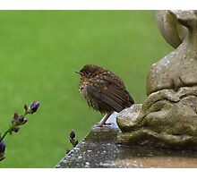 Baby Robin Photographic Print
