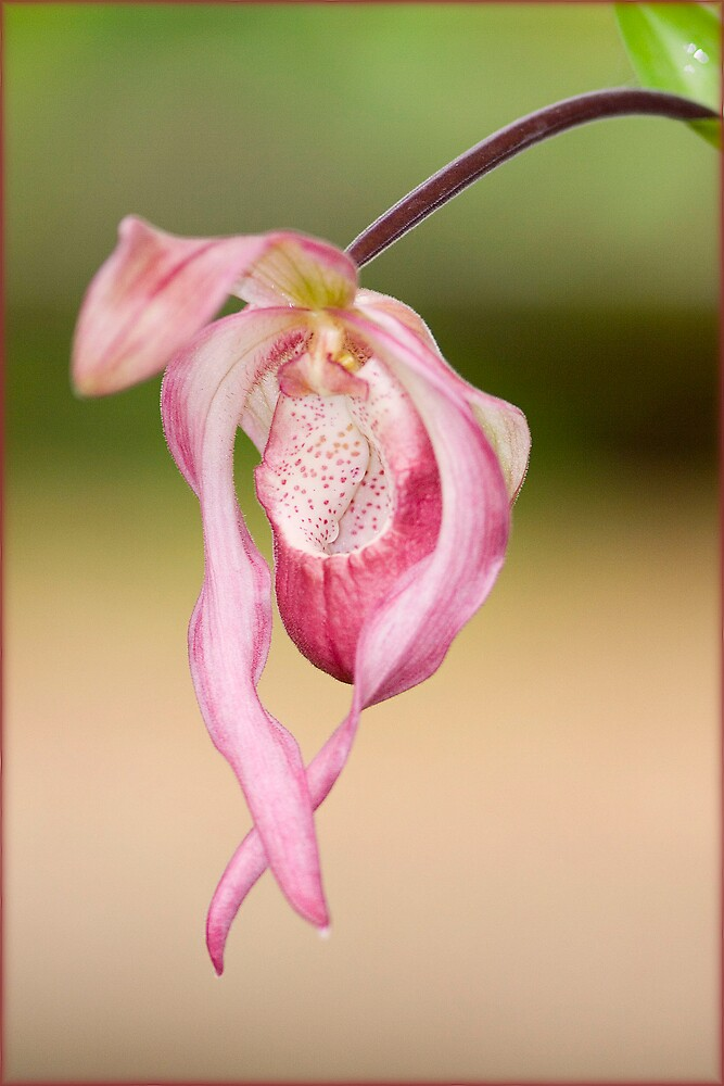 orchid by henleyhelen