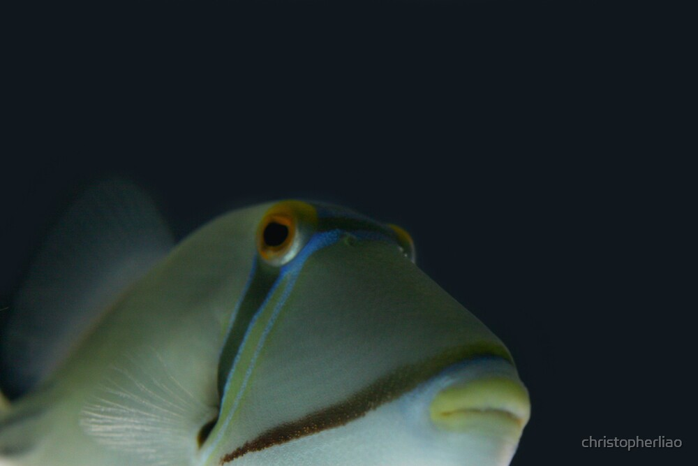 In your face Picasso Triggerfish by christopherliao
