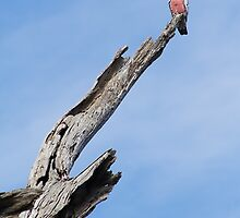 Galah on a dead tree by Cooper