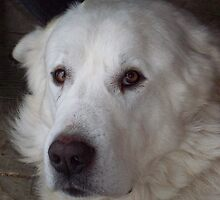 Great Pyrenees Dog by TippyToes