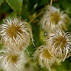 Clematis beards by Edward A. Lentz