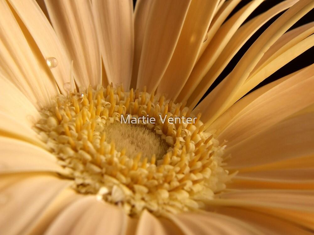 Cream Gerber Daisy Macro by Martie Venter
