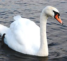 Swan by Andy Harris