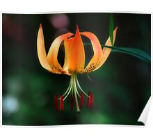 Turks Cap Lily Poster