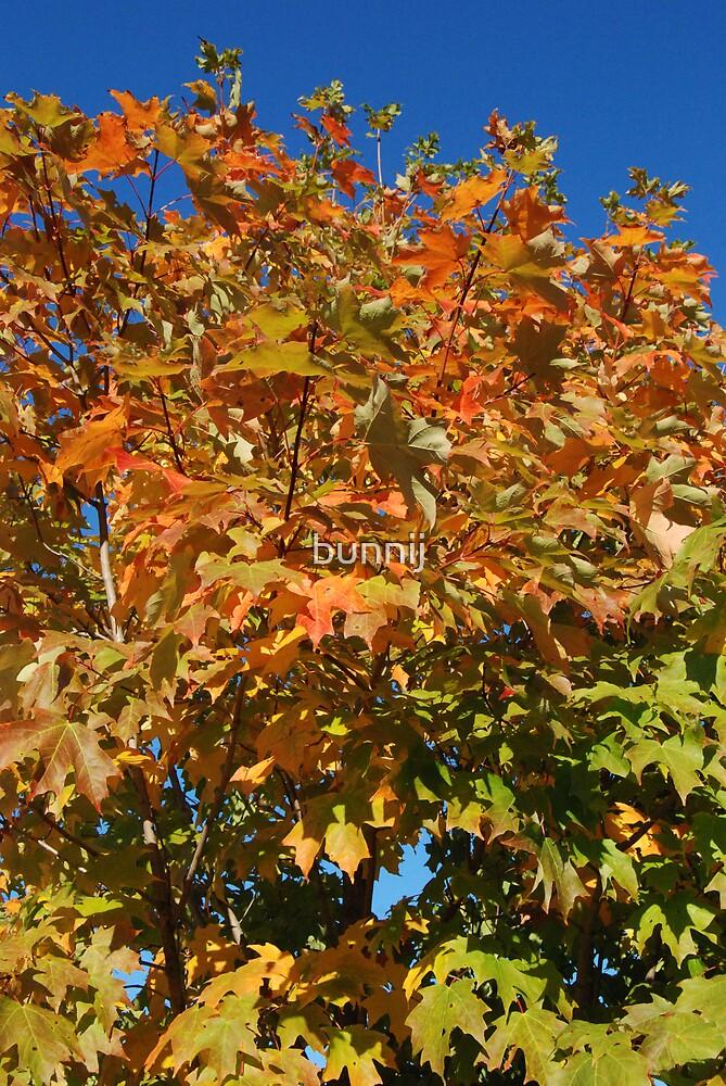 Harwinton Maple by bunnij