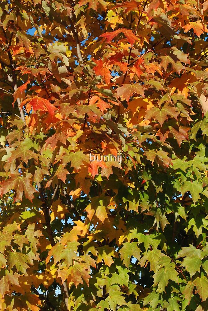 Maple Leaves by bunnij