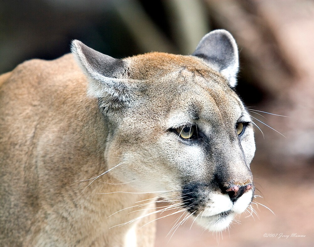 Cougar by Jerry  Mumma